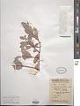 View Santalum lanceolatum digital asset number 1