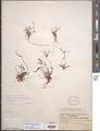 View Helanthium tenellum (Mart. ex Schult. f.) J.G. Sm. digital asset number 1
