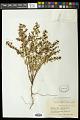 View Euphorbia anthonyi Brandegee digital asset number 0