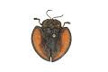 View Tortoise Beetle digital asset number 2