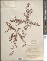 View Euphorbia cordifolia C.A. Mey. & Boiss digital asset number 1