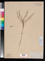 View Lepidium virginicum L. digital asset number 0