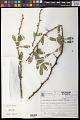 View Acanthosyris spinescens (C. Mart. & Eichler) Griseb. digital asset number 0