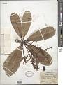 View Campnosperma gummiferum (Benth.) Marchand digital asset number 1