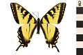 View Tiger Swallowtail digital asset number 0