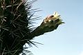 View Cereus hildmannianus K. Schum. digital asset number 0