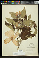 View Hibiscus moscheutos L. subsp. moscheutos digital asset number 0
