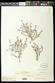 View Euphorbia laxa Drake digital asset number 0
