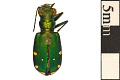 View Six-spotted Tiger Beetle digital asset number 0