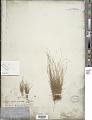 View Bulbostylis capillaris (L.) Kunth ex C.B. Clarke digital asset number 1