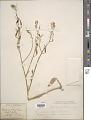 View Raphanus sativus L. digital asset number 1