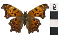 View Eastern Comma digital asset number 2