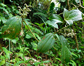 View Miconia racemosa (Aubl.) DC. digital asset number 0