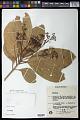 View Nectandra cissiflora Nees digital asset number 0
