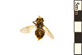 View Hoverfly digital asset number 1