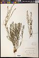 View Thesium alpinum L. digital asset number 0