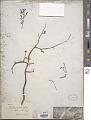 View Mirabilis prostrata (Ruiz & Pav.) Heimerl digital asset number 1