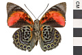 View Leafwing Butterfly digital asset number 1
