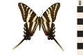 View Zebra Swallowtail, Zebra Swallowtail digital asset number 0