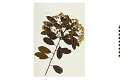 View Fraser's Photinia digital asset number 3