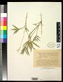 View Bambusa multiplex (Lour.) Raeusch. ex Schult. & Schult. f. digital asset number 0