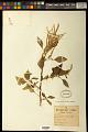 View Amaranthus spinosus L. digital asset number 0