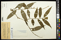 View Dichorisandra hexandra (Aubl.) Standl. digital asset number 0