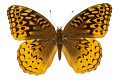View Great Spangled Fritillary digital asset number 2