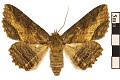 View Lunate Zale Moth digital asset number 0
