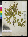 View Sophora secundiflora DC. digital asset number 0