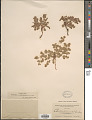 View Euphorbia albomarginata Torr. & A. Gray digital asset number 1