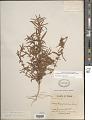 View Acalypha monococca (Englem. ex A. Gray) Gandhi digital asset number 1