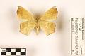 View Large Maple Spanworm Moth digital asset number 1