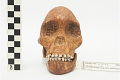View Taung Child, Fossil Hominid digital asset number 17