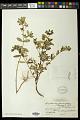 View Euphorbia hypericifolia L. digital asset number 0