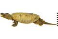 View Snapping Turtle digital asset number 2