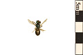 View Sweat Bee digital asset number 1