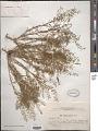View Thesium ramosum Hayne digital asset number 1