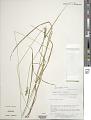 View Carex spicata Huds. subsp. spicata digital asset number 1