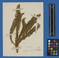 View Botanical Specimens From Quileute Indians digital asset number 27