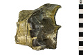 View Brontothere Fossil, Brontotherium digital asset number 5
