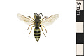 View Sand Wasp digital asset number 0