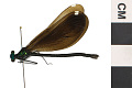 View Ebony Jewelwing, Damselfly digital asset number 2