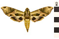 View Pandorus Sphinx digital asset number 0