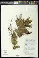 View Paullinia caloptera Radlk. digital asset number 0