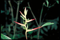 View Heliconia brachyantha L. Andersson digital asset number 0