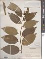 View Scleropyrum aurantiacum (Lauterb. & K. Schum.) Pilg. digital asset number 1
