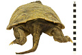View Snapping Turtle digital asset number 3
