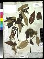 View Commersonia bartramia var. tahitensis Dorr digital asset number 0