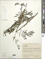 View Tagetes porophyllum Vell. digital asset number 1